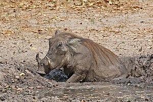 Wallowing in animals - Nolan warthog (Phacochoerus africanus africanus), Senegal