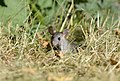 Norway or Brown Rat 04.jpg