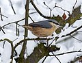 Nuthatch in the snow (4251171880).jpg