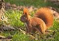 Nutty squirrel (explored) - Flickr - hedera.baltica (3).jpg