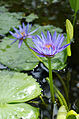 Nymphaea capensis 05.JPG
