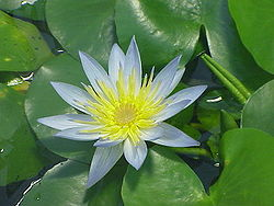 Nymphaea thermarum