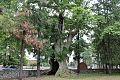 Oak of Zveli senaki.jpg