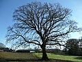Oak tree at Horsehill - geograph.org.uk - 716216.jpg