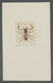 Obisium - Print - Iconographia Zoologica - Special Collections University of Amsterdam - UBAINV0274 069 03 0015.tif