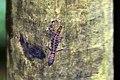 Ocellated gecko (Gonatodes ocellatus) female.JPG