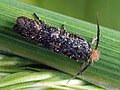 Ochsenheimeria taurella - Liverpool feather-horn - Стеблевая моль ржаная (26486776737).jpg