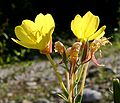 Oenothera biennis ENBLA01.jpeg