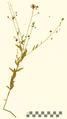 Oenothera filiformis HXC002635.png