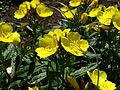 Oenothera fruticosa 02.JPG