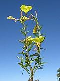 Oenothera glazioviana plant2 NT (16418830938).jpg
