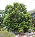Olea capensis - Ironwood Tree - Cape Town 4.jpg