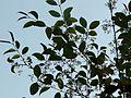 Olea dioica Roxb. (3294678837).jpg