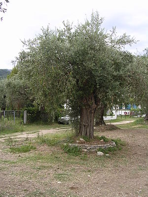 Olive tree on Thasos in Greece