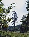 On the trail of the lonesome pine - geograph.org.uk - 244780.jpg
