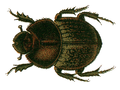 Onthophagus fracticornis.png