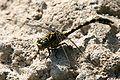 Onychogomphus forcipatus male Weinsberg 20070731 1.jpg