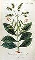 Ophiorrhiza mungos Ypey77-original.jpg