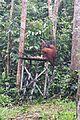 Orang Utan feeding station (25933412314).jpg