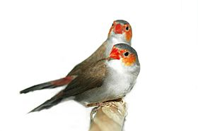 Orange-Cheeked Waxbill zackandzill.jpg