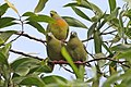 Orange-breasted Green Pigeon & Thick-billed Green Pigeon.jpg