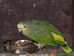 Orange-winged amazon parrot 31l07