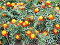 Orange flower bush (36615643).jpg