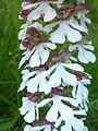 Orchis purpurea 05.JPG