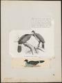 Oreophasis derbianus - 1700-1880 - Print - Iconographia Zoologica - Special Collections University of Amsterdam - UBA01 IZ16900065.tif
