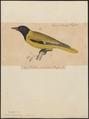 Oriolus moloxita - 1835 - Print - Iconographia Zoologica - Special Collections University of Amsterdam - UBA01 IZ16400185.tif
