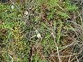 Oritrophium peruvianum.JPG