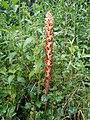 Orobanche reticulata subsp. pallidiflora sl4.jpg