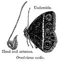 OrsotriaenaMedus.png