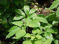 Orthosiphon rubicundus (3731598823).jpg