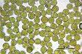 Orthotrichum affine (a, 144726-481017) 0960.JPG
