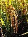 Oryza sativa Ear rice Stugaru roman rice IMG 3946 01.jpg