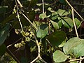 Oval-leaved Wheel Creeper (2348735829).jpg