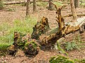 Overgrown dead tree stumps 14.jpg