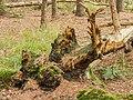 Overgrown dead tree stumps 14.jpg