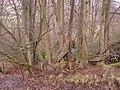 Overgrown pleached beech hedge - geograph.org.uk - 655925.jpg