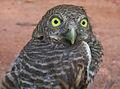 Owl young.jpg