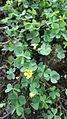 Oxalis corniculata (Philippines).jpg