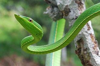 Oxybelis fulgidus - A green vine snake  in Yasuni National Park, Ecuador