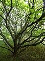 P1000270 Catalpa bignonioides (Aurea) (Begoniaceae) Plant.JPG