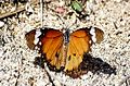 PICT0147 Lombok Island Danaus Chrysippus Male (5404285019).jpg