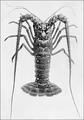PSM V66 D570 Bermuda lobster.png