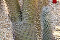 Pachypodium lamerei lamerei 4zz.jpg