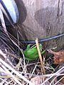 Pacific treefrog green morph.JPG