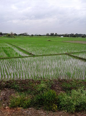 Nanjangud - Paddy fields at Nanjangud
