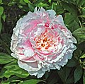 Paeonia sp. (Newark, Ohio, USA) 7 (49044669143).jpg